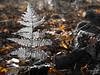 Silver (Peter Jaspers (less time to comment)) Tags: frompeterj© 2016 olympus zuiko omd em10 1240mm28 dof bokeh hss sliderssunday rotterdam rotjeknor herfst zilver kralingsebos autumn silver colors fall fern varen light cityforest november