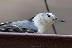 Rivertrail Nuthatch (Dahai Z) Tags: autumn2016 birds canonef400mmf56lusm canoneod7dmarkii nuthatch rivertrailnaturecenter wildlife