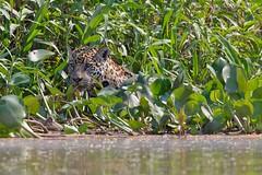 Jaguar (Panthera onca) (Jeluba) Tags: 2016 brazil brsil canon jaguar matogrosso pantanal pantheraonca nature wildlife mammal mammifre flin