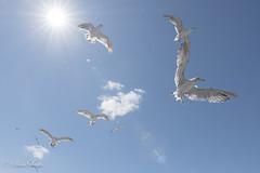 手が届きそうな場所に空がある (shin4433) Tags: birds nikond500 seagull sky sunshine tokina atx 1120mm f28 pro dx