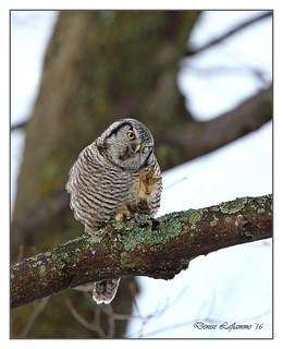 1E1A5252-DL   -   Chouette épervière / Northern Hawk Owl.