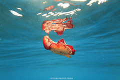 IMG_0188 copy (Aaron Lynton) Tags: spanish dancer snorkel scooter maui hawii hawaii canon g1x spanishdancer turtle honu tako octopus ocean animals papio yellowspotpapio starfish