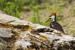 Grand Pic (yveshebert) Tags: pic woodpecker oiseaux oiseauxduquébec outaouais ottawariver gatineau birds