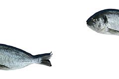 from top to bottom (brescia, italy) (bloodybee) Tags: 365project giltheadbream orata sparusaurata fish animal top bottom beginning end head tail stilllife grey gray white food
