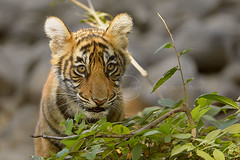 Portrait of a tiger cub (dickysingh) Tags: tiger tigers wildlife wild ranthambore ranthambhore