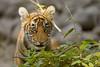 Portrait of a tiger cub (dickysingh) Tags: tiger tigers wildlife wild ranthambore ranthambhore