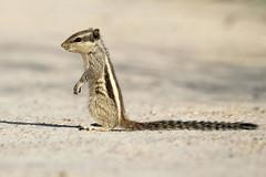Northern Palm Squirrel - Funambulus pennantii (Roger Wasley) Tags: northern palm squirrel funambulus pennant five striped animal mammal squirrels velavadar national park gujarat india indian rodent