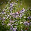 Popular (Kreative Capture) Tags: butterfly butterflies insect purple aster wildflower flowers plant texas wings pretty eight popular favorite nikkor nikon d7100 skipper hesperiidae fritillary
