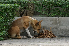 Bones piling up (N808PV) Tags: road dog bangkok sony bones horror stray hungry alpha 6000 gruesome terrified sathorn 55210 narathiwatratchanakarin