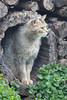 Wilde Kat in Anholter Schweiz (Mickri Photography) Tags: duitsland wildekat anholterschweiz