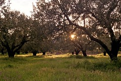 Sunset in the Olive Field