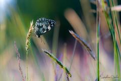 Demi deuil en couleurs (stephanegachet) Tags: france macro canon insect bretagne papillon morbihan insecte finistère gachet stephanegachet