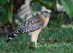 Red-shouldered Hawk - Buteo lineatus (Paul Hueber) Tags: redshoulderedhawk buteolineatus bird aves wildlife nature handheld altamontesprings seminolecounty florida canonef100400mmf4556lisusm animal canon spring orlando usa america unitedstates grass lawn march outside 2014