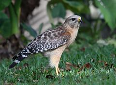 Red-shouldered Hawk (Buteo lineatus) (Paul Hueber) Tags: bird nature animal florida wildlife aves handheld redshoulderedhawk seminolecounty altamontesprings buteolineatus canone