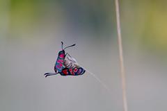 Zygne de la Carniole (aracobis) Tags: france champs fragile lorraine chaud insectes animalier sigma150f28 canoneos7d