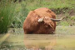 Schotse Hooglander 0223 (bzd1) Tags: nature water natuur gras rund veluwezoom heide koe koeien gelderland highlandcow poel schotsehooglander natuurgebied grazen natuurgebieden natuurpark runderen grazers hoorns rundvee grotegrazers rundveeras runderras aredhighland langehoorns