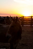 af1407_9865 (Adriana Füchter ... thank you for 5 Million Views) Tags: farm fazenda friese paarden fries paard silhouette horses horse sunset snogeholms slott symmetry friesische pferde pferden ameland cheval chevaux caballo equine equines professionalequineimages cavalos cavalo equino sweetface country rural natures finest impressed beauty brazil brasil burro jumento animal