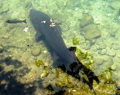 Bright sunshine (EcoSnake) Tags: fish water wildlife prehistoric sturgeon naturecenter whitesturgeon livingfossil idahofishandgame