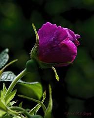 Simple Beauty (20140721-141450-PJG) (DrgnMastr) Tags: roses bravo ngc allrightsreserveddrgnmastrpjg naturesspirit naturescreations newenvy naturescarousel naturesgoldencarousel hennysgardens dmslair jadensgarden grouptags pjgergelyallrightsreserved