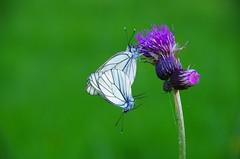 Baumweißling (Aah-Yeah) Tags: white black butterfly bayern schmetterling achental paarung veined chiemgau aporia crataegi marquartstein kopula baumweisling