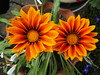 The Gazinnia twins (bryanilona) Tags: flowers garden gazinnia fantasticflower abigfave citrit