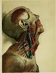 Anglų lietuvių žodynas. Žodis carotid artery reiškia miego arterijos lietuviškai.