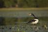 Magpie goose (Anseranas semipalmata), Kakadu National Park, Northern Territory, Australia (by N. Murray)