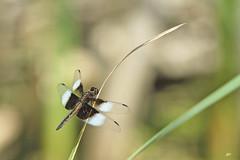 La Mlancolique (M) / Widow Skimmer (M) (alain.maire) Tags: canada nature insect quebec dragonfly insecte libellule widowskimmer odonata libellulidae libellulaluctuosa odonate lamlancolique