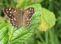 Speckled Wood Dothill 07.08.2014 (Tim J Preston) Tags: flowers lake macro nature pool birds fauna pond flora shropshire wildlife bees butterflies reserve bugs telford wellington trust local tee invertebrates ornithological dothill