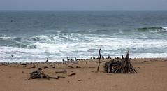 Beach Birds (LeftCoastKenny) Tags: birds driftwood pacificocean pescaderostatebeach