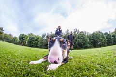 English Bull terrier (www.nick-moore.com) Tags: dog pet fish eye english club friend walk bull best terrier mans walker breed collar rare kennel owner pedigree
