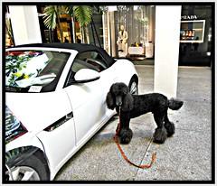 I think I'd look pretty good in this Jaguar (Midnight and me) Tags: reflection poodle jaguar prada sportscar standardpoodle blackstandardpoodle balharborshops midnightandme littledoglaughedstories exclusivemall