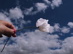 feliz  martes de Nubes!!!!☁ ☁ ☁ (jacilluch) Tags: red flower macro fleur rojo flor blossoms poppy rosella silvestre coquelicot nwn poppys amapola cornpoppy papoula gineceo papaverrhoeas adormidera encarnado ababol mitxoleta papaverorosso papuela rossopapavero amapolacomun amapolaalbina tomadael30demayode2014