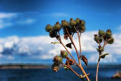 IMG_3456 (sergegordy) Tags: blue sea flower suomi finland helsinki suomenlinna