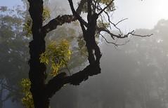 sick bloodwood (dustaway) Tags: winter light tree fog branches earlymorning shapes australia nsw treebark lismore foggymorning myrtaceae diseasedtree treesinfog mistlight goonellaba