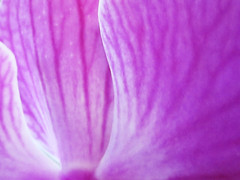 Abstract Flower Petal (shaire productions) Tags: pink plant abstract orchid flower detail macro nature floral beauty photography photo natural image picture petal growth photograph imagery shaireproductions