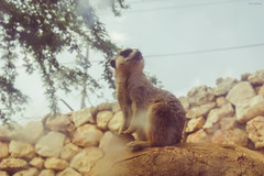 Were is Pumba? (life-and-camera) Tags: life africa portrait nature animal rock zoo israel meerkat wildlife jerusalem adventure namibia mongoose watcher discover timon suricato jerusalembiblicalzoo vsco warcher