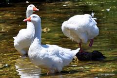DSC_0311 (rachidH) Tags: sea lake birds geese mediterranean hellas ducks goose greece waterfowl kefalonia canard oiseaux muscovy oie karavomylos rachidh melissany