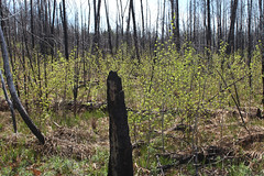 Recently sprouted aspen in burned forest
