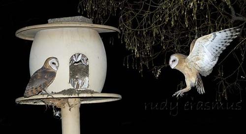 Western Barn Owls  at nest_2959