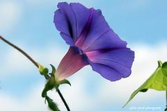 Morning Glory against blue sky. (Gillian Floyd Photography) Tags: morning blue sky glory