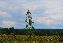 Lonely Sunflower (Krasivaya Liza) Tags: summer nature rural nikon saratoga farming upstate hudson newyorkstate claverack