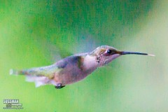 Hummingbird in flight (The Suss-Man (Mike)) Tags: bird nature animal georgia dof hummingbird bokeh gainesville hallcounty bokehlicious thesussman sonyalphadslra550 minoltaafreflex500mmf8 sussmanimaging