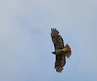 Red-Tailed Soar