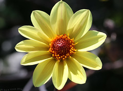Under the big bright yellow sun .. (Rick & Bart) Tags: flower macro nature yellow flora geel bloem rickbart thebestofday gnneniyisi rickvink