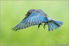 First flight - juvie Bluebird (Earl Reinink) Tags: ontario bird nature nikon flickr earl bluebird easternbluebird naturephotography dunnville canad birdphotography nikond4 earlreinink reinink hdouzurdha