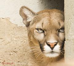 Shy Puma (Puma concolor) (Eldorino) Tags: cat nikon bigcat endangered puma wildcat 70200mm pumaconcolor d600