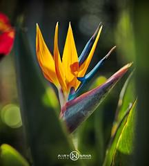 BecZoizo-26072014 (TECHER R.) Tags: flower nature fleur reunion dom ile bec romain indien couleur runion ocan outremer dpartement 974 ledelarunion techer zoiseau airynaka techerromain