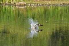 Osprey (Boulder Flying Circus Birders) Tags: osprey pandionhaliaetus birdwalk sawhillponds waldenponds wildbirdcenterboulder nealzaun ospreyboulder ospreycolorado wildbirdboulder wildbirdcolorado ospreybouldercounty