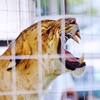 Liger at Prince William County Fair, 2014 (Stephen Little) Tags: 18mm princewilliamcountyfair sigma18250 sigma18250mm sigma18250mmf3563 sigma18250mmf3563dcoshsm sonya77 jstephenlittlejr sigma18250mmf3563dcoshsm880205 slta77 sonyslta77 sonyslta77v sonyalphaslta77v